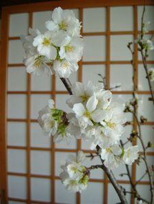 Sakura0412_r002
